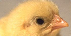 003_chicks