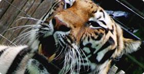 004_circus_tiger